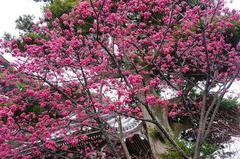 160314長谷寺カンヒザクラ