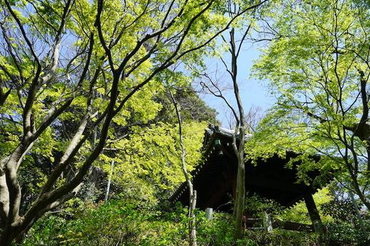 190406妙本寺新緑