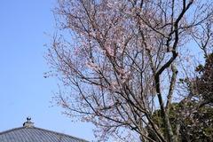 170319東慶寺彼岸桜