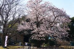 170226フラワーセンター玉縄桜2