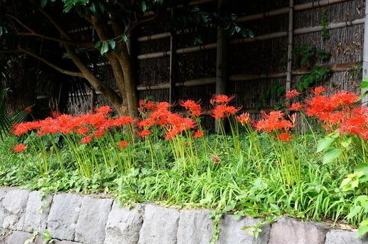 150920鶴岡八幡宮ヒガンバナ1
