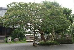090725本興寺サルスベリ