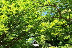 170511妙本寺新緑2