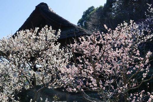 130312東慶寺ウメ1