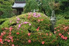 110528海蔵寺サツキ
