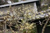 080109東慶寺ロウバイ