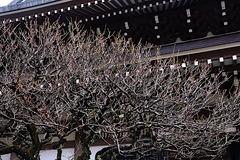 200115円覚寺ウメ1