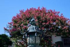 140820本覚寺サルスベリ1