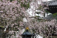 160324本覚寺シダレザクラ2