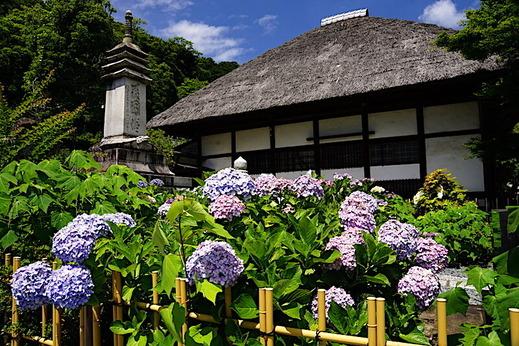 200624円覚寺アジサイ5