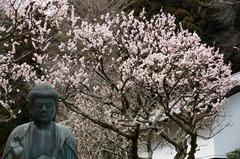 110316東慶寺ウメ2