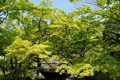 130415円覚寺新緑3