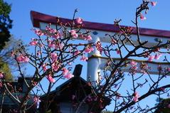 171219鎌倉宮河津桜