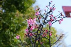 140126鎌倉宮カンヒザクラ