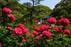 160521鎌倉文学館バラ2
