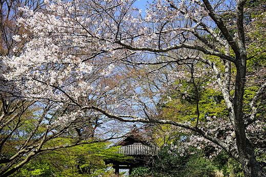 200324妙本寺ソメイヨシノ1
