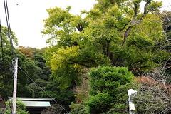161128荏柄天神社イチョウ