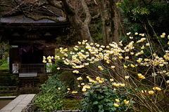 170323円覚寺ミツマタ