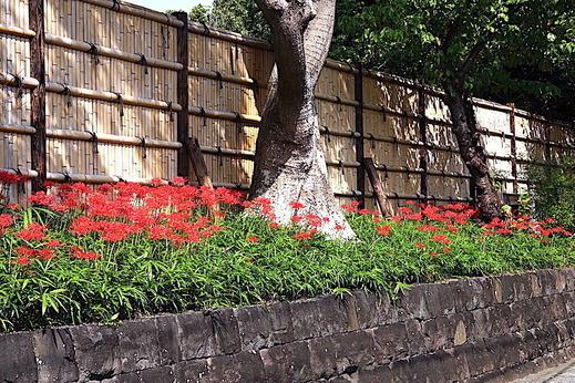 201002鶴岡八幡宮ヒガンバナ1