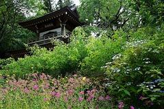 160529浄智寺ムシトリナデシコ