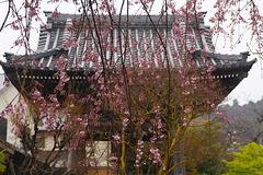 170326本覚寺シダレザクラ2