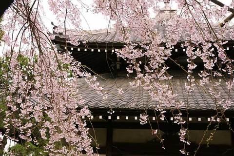 090328本覚寺シダレザクラ