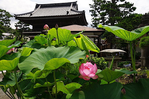 200629本覚寺ハス