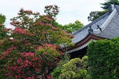 140814成福寺サルスベリ2