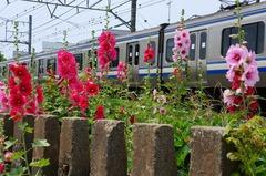 140604横須賀線タチアオイ2
