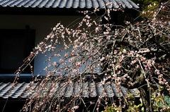 130319東慶寺シダレザクラ
