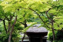 130523円覚寺新緑