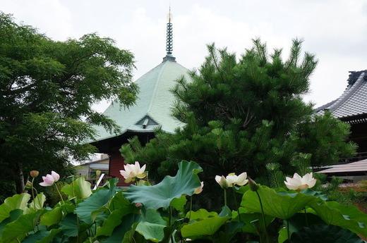 160725本覚寺ハス