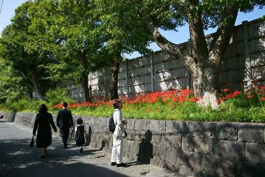 121002鶴岡八幡宮ヒガンバナ