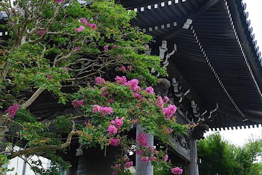 200730本覚寺サルスベリ