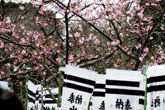 090215八幡宮河津桜
