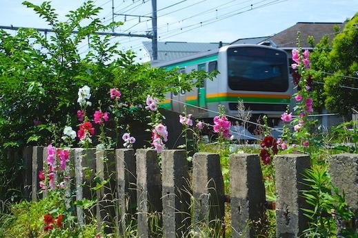 150607横須賀線タチアオイ
