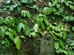 090527東慶寺イワタバコ2