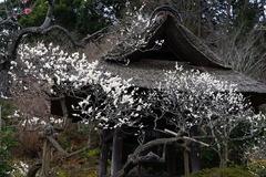 160215東慶寺ウメ3