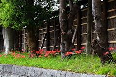 180924鶴岡八幡宮ヒガンバナ2
