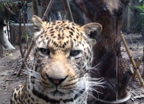 ヒョウを至近距離で見る動画