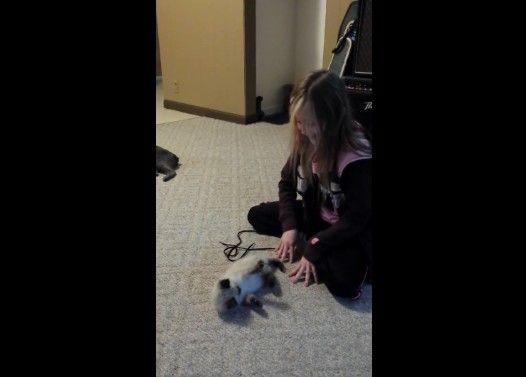 女の子のマネをして「ばんにゃーい」する子猫