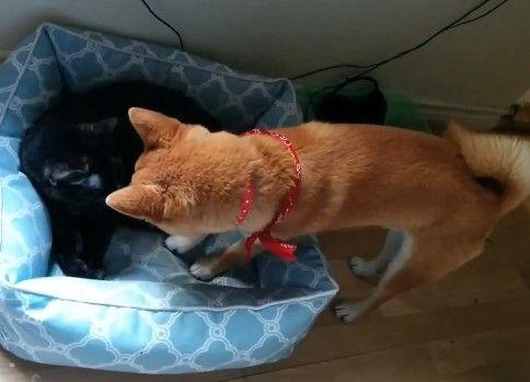 おそるおそる猫の寝床にはまり込む柴犬