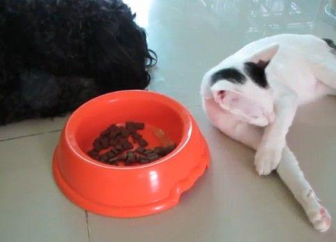 ドックフードを盗み食いする猫