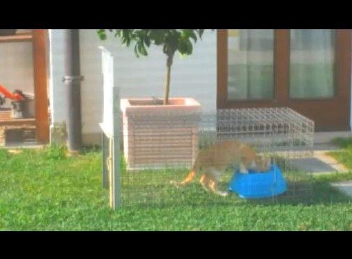 野良子猫 トラップで一網打尽
