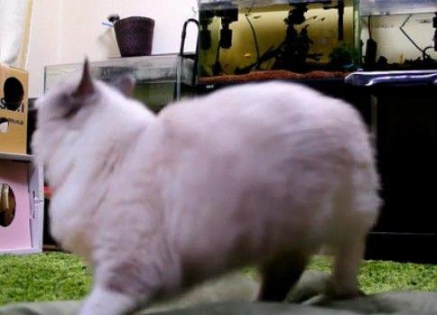 ちっさいラジコンヘリを撃墜する猫