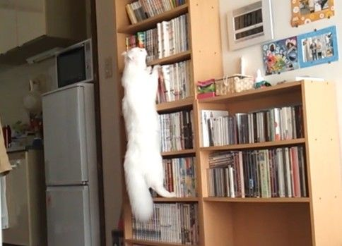 ブッククライミング猫