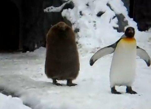 ペンギンの後からついてくる黒い物体