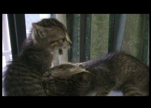 嘘泣きの得意な妹猫のチョコと、お姉ちゃん猫のモカのお気に場所争奪戦