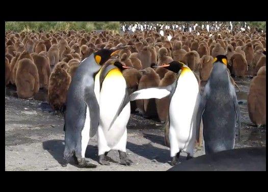 ペンギン同士の喧嘩