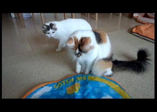 玩具のスイッチを切ると鳴いて抗議する猫